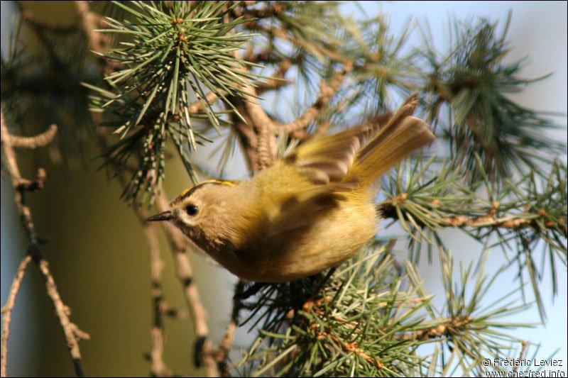 C'est une petite espèce de -----. Ses pattes puissantes sont ----- ; ainsi posé sur une branche, il est capable de tenir la tête en bas. Il porte une ---- dont les plumes ---- une couronne. Il s'agit du -----.