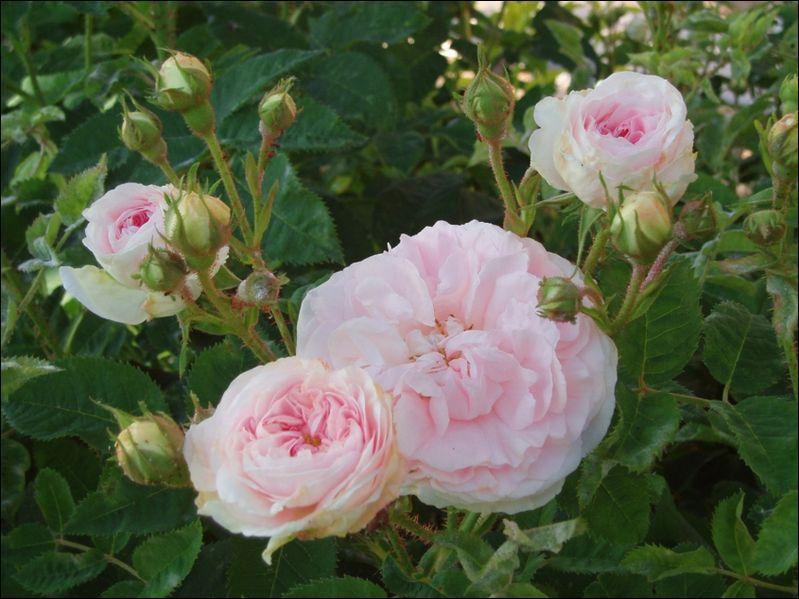 F comme une envoûtante ----- de roses.