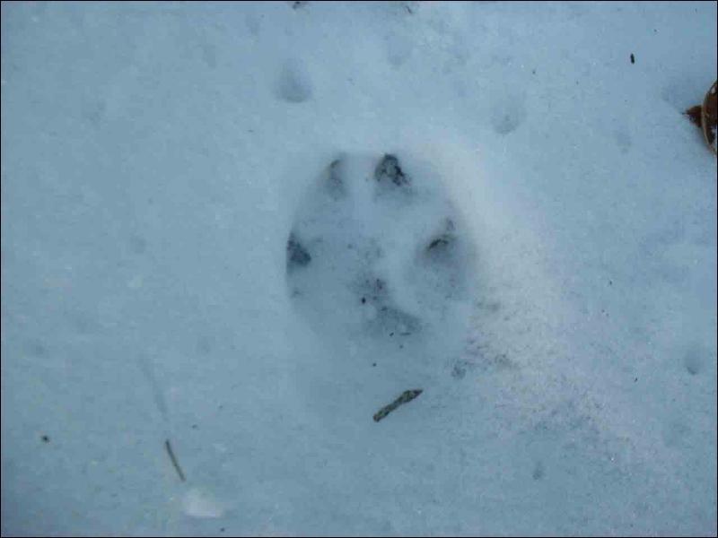 Quel animal a-t-il laissé cette empreinte sur le sol ?