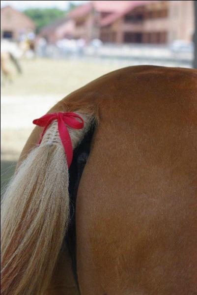En concours, quelle est l'utilité d'un ruban rouge sur la queue d'un cheval ?