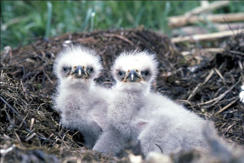 Le nid du pygargue à tête blanche, emblématique des Etats-Unis, peut peser jusqu'à ...