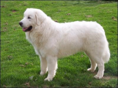 quizz races de gros chiens quiz races chiens races de. Black Bedroom Furniture Sets. Home Design Ideas