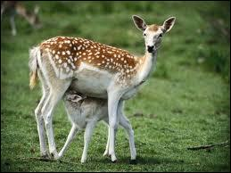 Comment dit-on  biche  ?