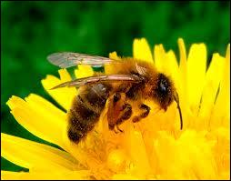 Comment dit-on  abeille  ?
