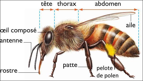 Instrument, bois, omoplate, peinture, mécanique, imagination, ais, abeille.