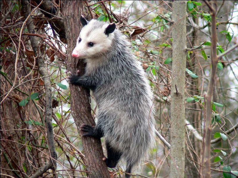 On le trouve en Amérique du Nord, Centrale et du Sud, c'est un marsupial, comme le kangourou, connais-tu son nom ?