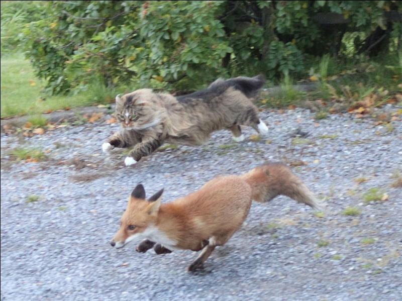 Sur la photo, on voit un renard qui s'enfuit, par qui est-il poursuivi ?