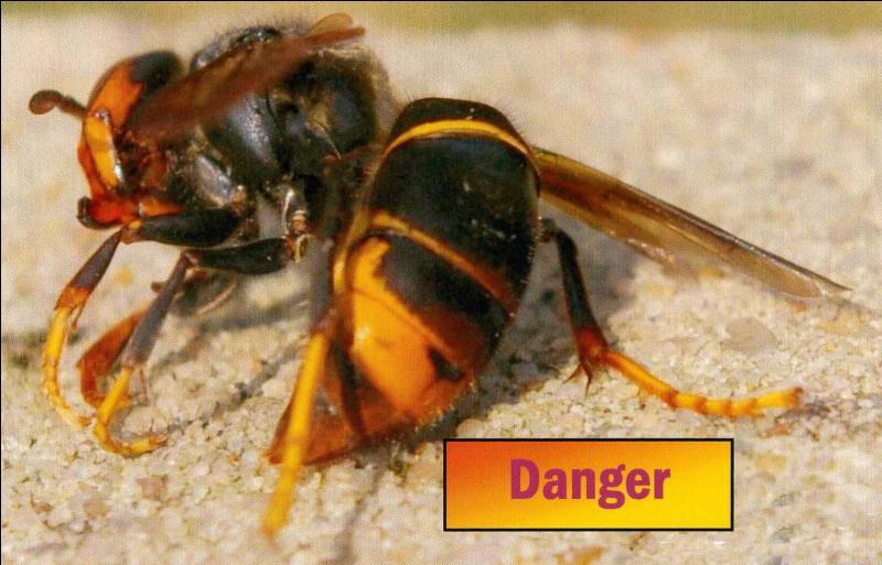 Ce frelon est en train de conquérir une partie du territoire français, vous le connaissez assurément par les dommages qu'il cause à nos abeilles et nos apiculteurs, de quel continent est-il originaire ?