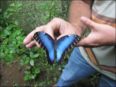 Il existe plusieurs dizaines d'espèces de ce papillon magnifique, le morpho bleu, dans lequel de ces trois pays pouvez-vous le voir ?