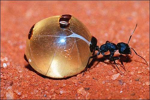 Dans lequel de ces trois pays situez-vous la  fourmi pot de miel  ?