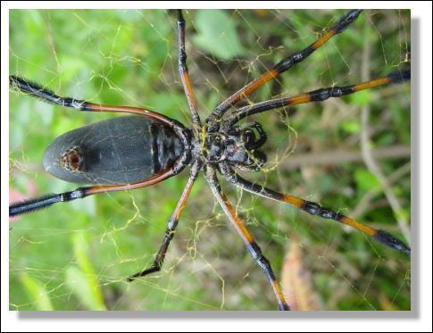 Cette petite araignée, d'aspect guère impressionnant, porte un nom qui lui est beaucoup plus inquiétant, la veuve noire, contrairement à la mygale, certaines espèces de cette araignée peuvent être mortelles, en dehors de l'Amérique du Nord, elle a une cousine qui vit ...