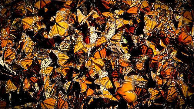 Ce papillon, le monarque, est un grand voyageur, tous les ans, il fréquente ce pays, où la sieste, dans l'imagerie populaire, est une institution !