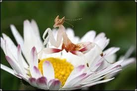 Cet insecte, la mante orchidée, est originaire de ce pays, où flotte encore la légende de Sandokan, surnommé le Tigre, qui lutta contre l'oppresseur anglais !