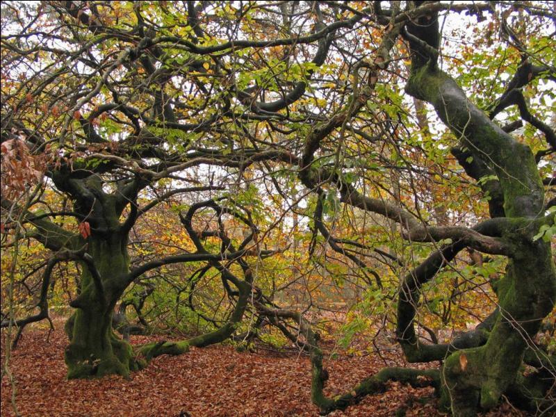 Sortez des entrailles de la Terre pour découvrir ces arbres étranges aux troncs et branches tordus, torsadés, les branches terminales retombant jusqu'au sol ! Ce sont les 'Faux de Verzy', site touristique de la montagne de Reims, dans le département de :