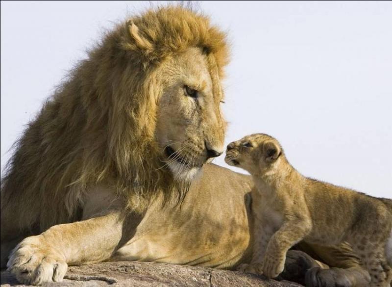 Quand il est bébé, quelle similarité partagent le guépard et le lion ?