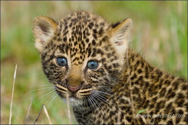 Quand il est bébé, quelle similarité partagent le guépard et la panthère ?