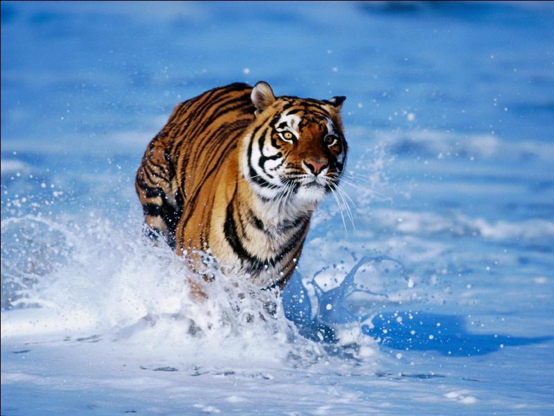 Qu'est-ce qui différencie la panthère du lion et du guépard ?
