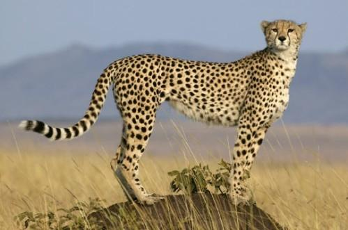 Le guépard et ses cousins