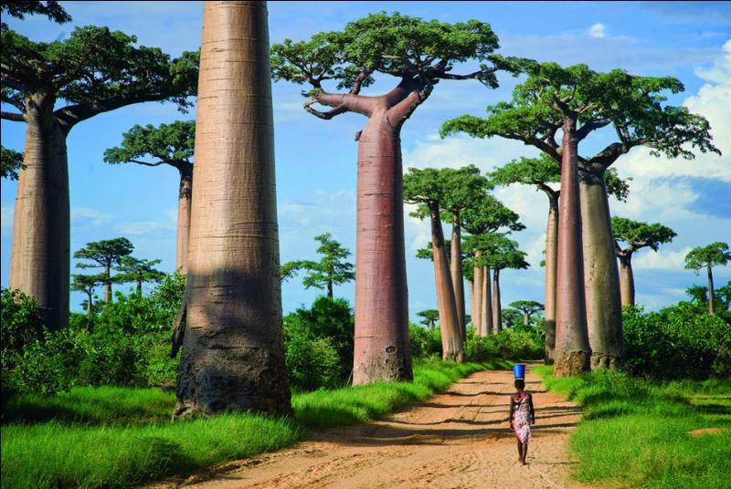 Un pays où le baobab est roi !
