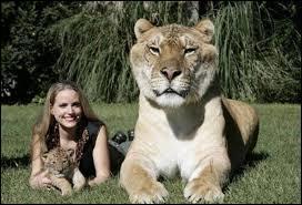 Comment s'appelle le bébé d'un lion et d'une tigresse ?
