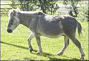 Comment s'appelle le bébé d'un cheval et d'une ânesse ?