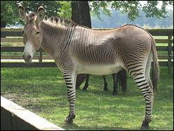 Comment s'appelle le bébé d'un âne et d'un zèbre ?