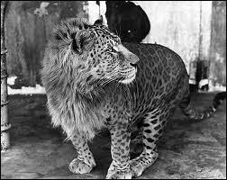 Comment s'appelle le bébé d'une lionne et d'un léopard ?