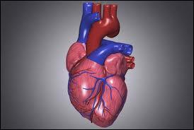 Le cœur est un muscle, mais à quoi sert-il ?