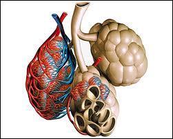 L'air continue dans les bronches et les bronchioles. Finalement à quel niveau se déroulent les échanges gazeux avec le sang ?