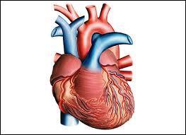 Combien notre cœur exerce-t-il de battements à la minute au repos ?
