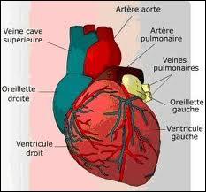 Laquelle de ces affirmations concernant les artères est vraie ?