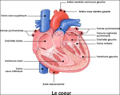 Combien le cœur pèse-t-il en moyenne chez un adulte ?