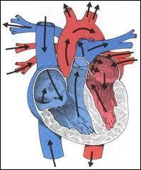 Complétez la phrase suivante :  Le cœur est constitué de quatre ... collées ... par ... qui modélisent le cœur droit et le cœur ... . Ce sont donc 2 ... qui sont synchronisées.