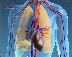 Comment se nomment les vaisseaux sanguins de taille moyenne dans lequel le sang circule depuis l'organe vers le cœur ?