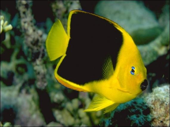 Où vivent principalement les poissons appelés Demoiselles, très colorés et tout en rondeurs ?
