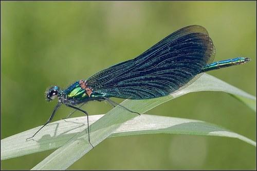 En zoologie, une demoiselle est un insecte, proche de :
