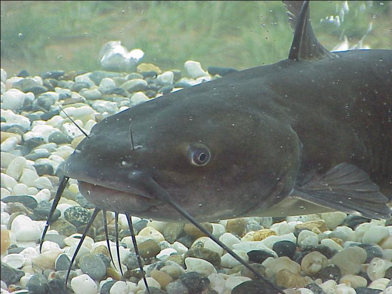 Celui-ci ressemble aussi a un gros poisson-chat , il s'agit d'un :