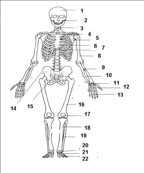La scapula est l'autre nom de l'os de la hanche. Est-ce vrai ou faux ?