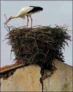 Il est de bon augure qu'elle fasse son nid sur votre maison. D'après la légende c'est elle qui apporte les bébés.
