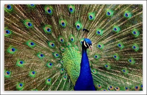 C'est un animal au cri étrange dont la beauté du plumage est légendaire.
