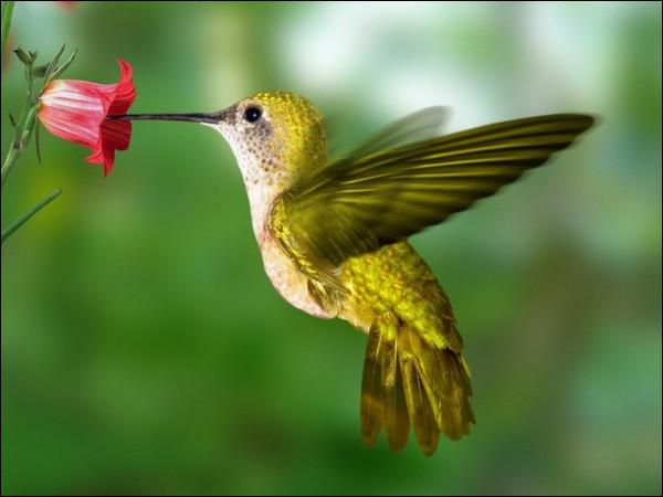 Virtuose du vol stationnaire et il est le seul oiseau au monde qui puisse voler à reculons.