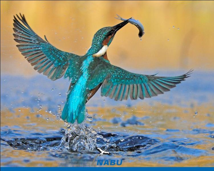 Il plonge en percutant violemment la surface de l'eau pour attraper les poissons dont il se nourrit.