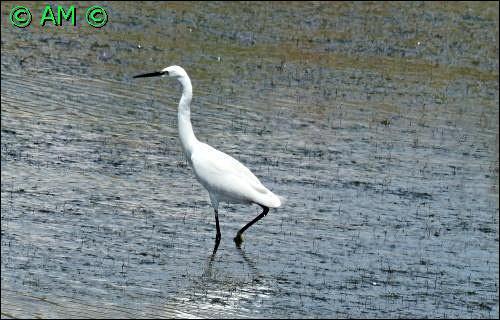 Quel est cet oiseau, échassier de grande taille ?