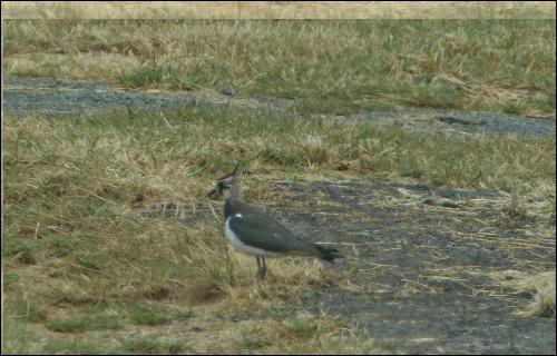 Oiseau de taille moyenne qui vit en bandes nombreuses caractérisées, en vol, par les ailes arquées.