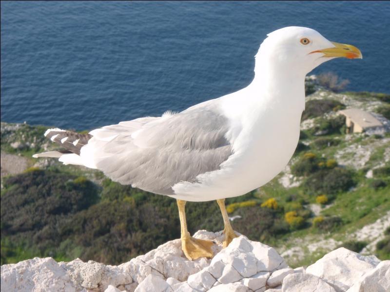 Le goéland et le gabian désignent-ils le même oiseau ?