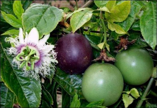Le fruit de la passion et la grenadille sont-ils le même fruit ?