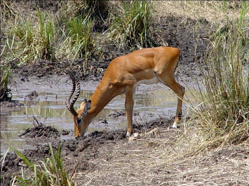 L'impala et la gazelle sont-ils le même animal ?