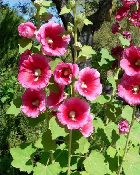 La passerose désigne-t-elle la même fleur que la rose trèmière ?