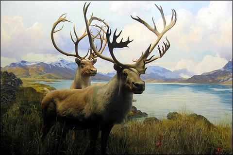 Le caribou et le renne sont-ils le même animal ?