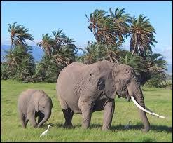 Animaux - Quelle est la durée moyenne de gestation chez l'éléphante ?